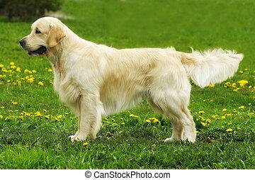 beautiful purebred dog Golden Retriever standing