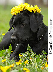 Beautiful purebred Labrador puppy lying on the grass in the summer with a wreath of dandelions on his head