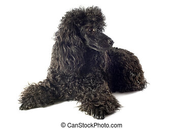 poodle - beautiful purebred poodle in front of a white ...