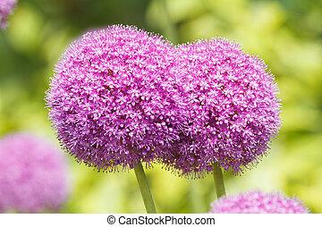 Allium flowers - Beautiful purple Allium flowers close-up