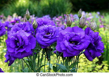 Beautiful purple anemone flowers blooming in the Spring