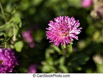 beautiful purple aster, macro, narrow focus area - beautiful...