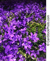 Beautiful purple bells on the market view