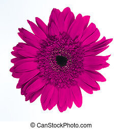 Beautiful purple chrysanthemum on white background.