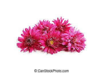Beautiful purple chrysanthemums isolated on white