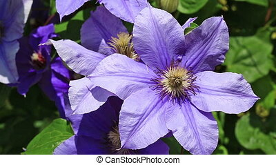 purple clematis flowers