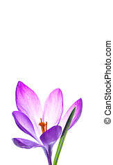 Beautiful purple crocus flower