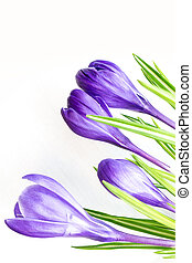 Beautiful purple crocus flowers closeup isolated on white background
