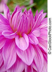 Beautiful purple dahlia