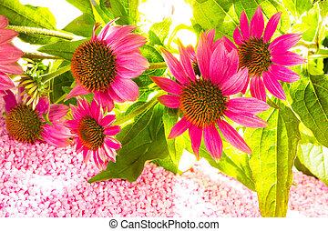 Beautiful purple Echinacea flowers - Bunch of beautiful ...