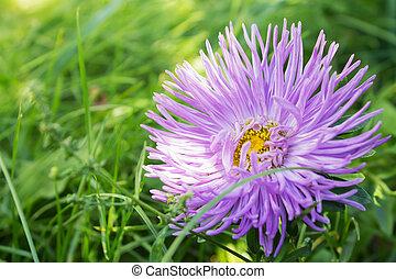beautiful purple flower garden asters closeup