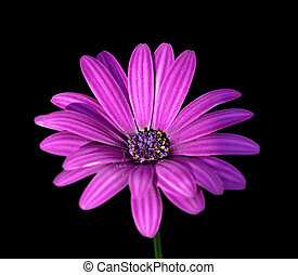 Beautiful purple flower isolated on a black background