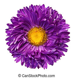 beautiful purple flower isolated on white background