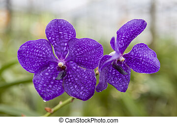 Beautiful purple flower orchid on a branch close-up.