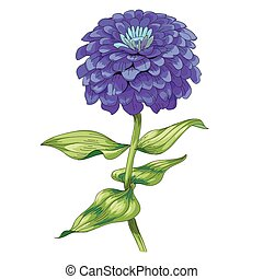 Beautiful purple flower zinnia isolated on white background. A large bud and inflorescence on a stem with green leaves. Botanical vector Illustration.