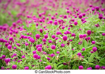 Here are beautiful purple flowers - gomphrena globosa.