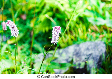 Beautiful purple flowers in a mountain area in the green grass on a summer day