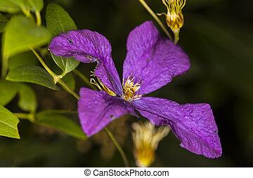 beautiful purple garden flower close up