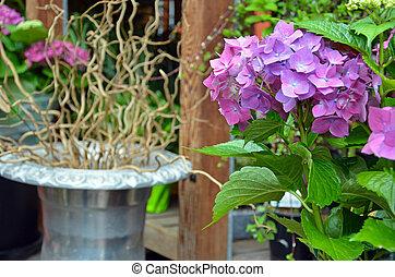 Beautiful purple hydrangea flowers with planter in...