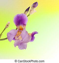 Beautiful purple iris on the yellow background