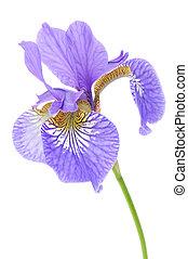 Beautiful Purple Iris on White Background