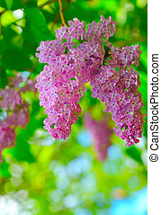 Beautiful purple lilac flowers outdoors.