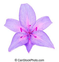 Beautiful Purple Lily - A beautiful purple lily isolated on...