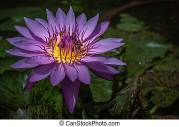 Beautiful purple lotus background and bees on day time, Close-up of tropical lotus flower.