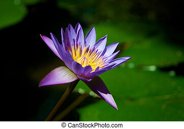 Beautiful Purple Lotus flower