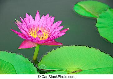 Beautiful purple lotus