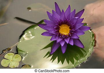 Beautiful Purple Lotus on Lilly Pad