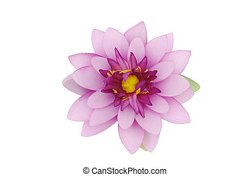 Beautiful purple lotus on white background