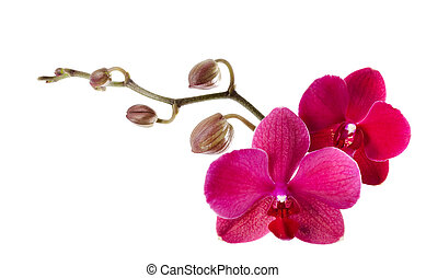 Beautiful purple orchid on a white background
