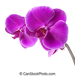 purple orchid - beautiful purple orchid on white background
