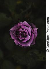 Beautiful purple rose in back light on a dark background.