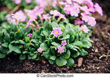 beautiful purple spring flowers in the ground