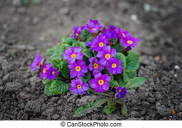 Beautiful purple spring flowers planted in the ground
