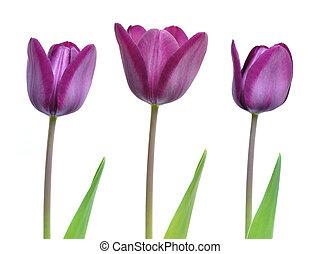 Beautiful purple spring tulips