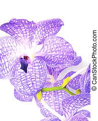 beautiful purple vanda orchid flower close up on white background
