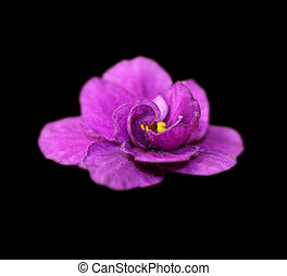 Beautiful purple violet flower isolated on a black background