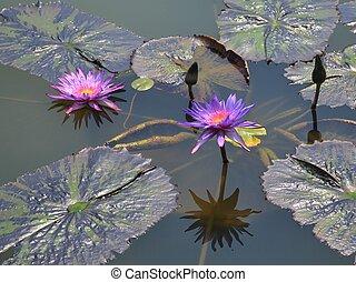 Beautiful Purple Water Lilies