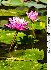 Beautiful Purple Water Lilies Float