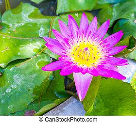 Beautiful purple water lilly