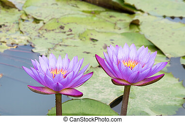 Beautiful purple water lilly or lotus on water