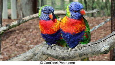 Rainbow Lorikeet Couple Perched On The Tree Branch -...