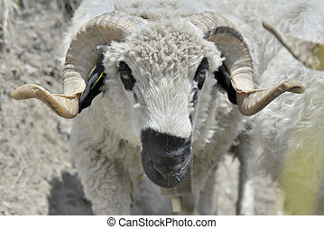 beautiful ram with horns