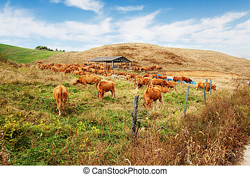 Beautiful ranch in South Korea,Seosanranch,cows