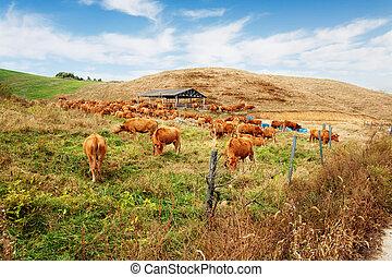 Beautiful ranch in South Korea,Seosanranch,cows
