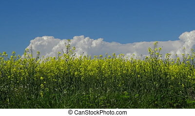 Beautiful rape flowers in a sunny day at spring