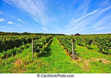 cluster of white grapes in the vineyard in indian summer